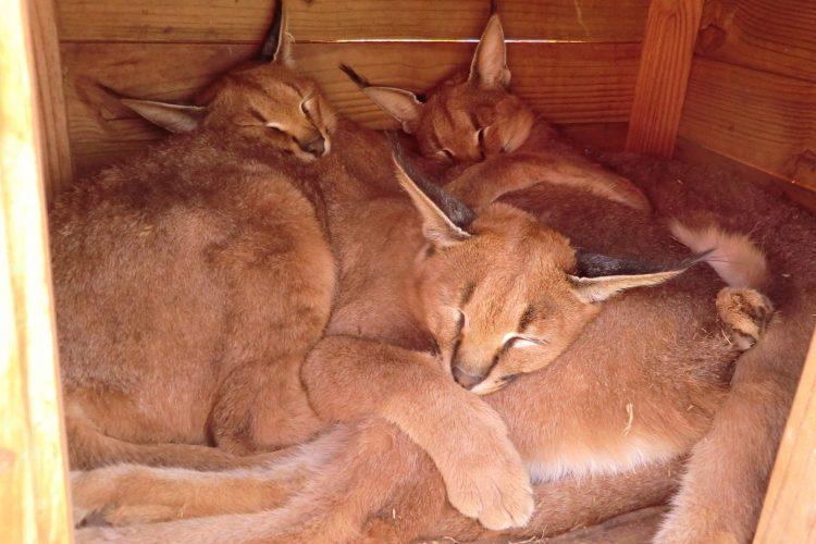 """Thematischer Sprung: In der Aufzuchtstation """"Cheetah Experience"""". Drei junge Wüstenluchse beim Mittagsschlaf. Nachts schlafen zusätzlich zu den dreien noch die zwei Buschkatzen auf dem nächsten Bild mit in der Hütte, obwohl es genug andere Schlafplätze gäbe."""