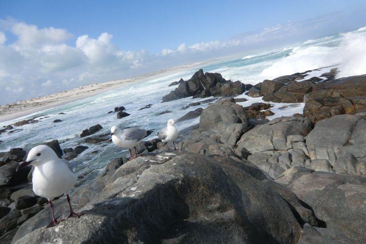 Im West Coast National Park nördlich von Kapstadt. Beim Spaziergang am Strand im Hintergrund fanden wir zwei (schon seit längerem) tote Robben :-(
