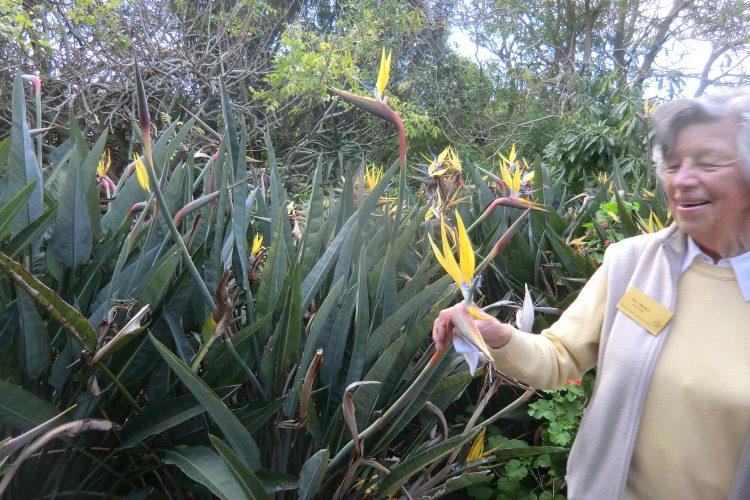 Im Kirstenbosch Botanical Gardens. Unser Guide erklärt gerade, dass die Blüten nach den Sagen der Zulu früher Paradiesvögel waren, die aber alle Felder leer gefressen hätten und daher von den Göttern zur Strafe in Blumen verwandelt worden seien. Bestäubt werden sie von Vögeln, die sich auf den blauen Teil setzen und dadurch per Hebel die Pollenkammer öffnen. Das Problem ist, dass im Botanischen Garten die Vögel unter dem blauen Teil landen und nur den Nektar holen, ohne zu bestäuben, weswegen das jetzt von Hand gemacht werden muss.