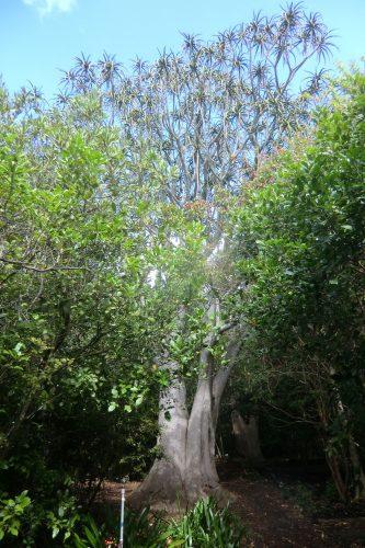 """Ein Aloe Ferox """"Baum"""", der aber kein richtiger Baum ist, also keinen Stamm aus Holz hat, sondern innen Wasser speichert und eine harte Hülle hat. Aloe Ferox gilt als wesentlich gesünder als Aloe Vera und erobert gerade den Beauty-Markt."""