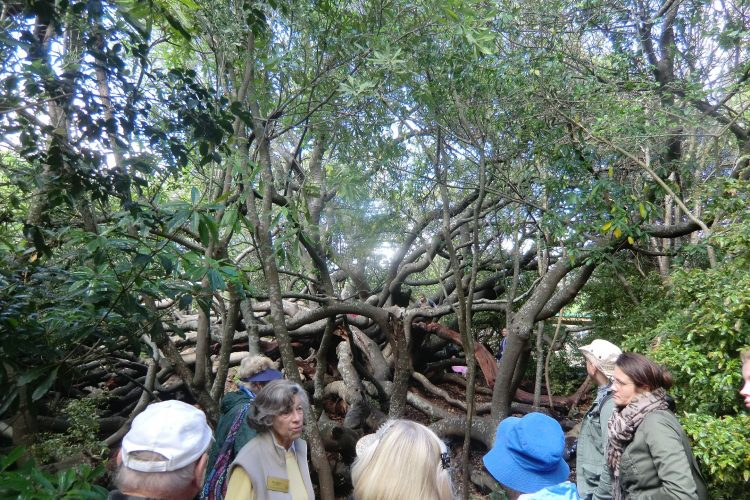 Ein Baum, dessen Frucht wie eine Mandel aussieht und der früher als Art Hecke um Viehweiden gepflanzt wurde. (Alles, was man im mittleren Teil des Bildes sieht, ist ein einziger Baum.)