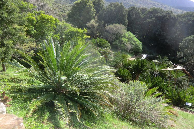 Die Cycadeen oder Palmfarne existierten schon, als es noch keine Dinosaurier gab.