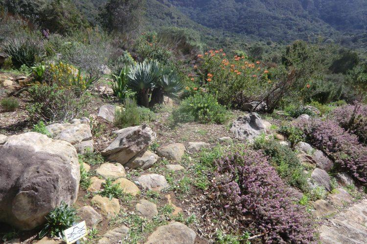 Die typische Vegetation des fynbos rund um Kapstadt. Anders als z.B. Rosen lassen sich dessen Arten nicht in Reinform (z.B. in einem Beet nur mit Erika) anpflanzen, sondern sie wachsen nur in Gemeinschaft mit ihren natürlichen Nachbarn.