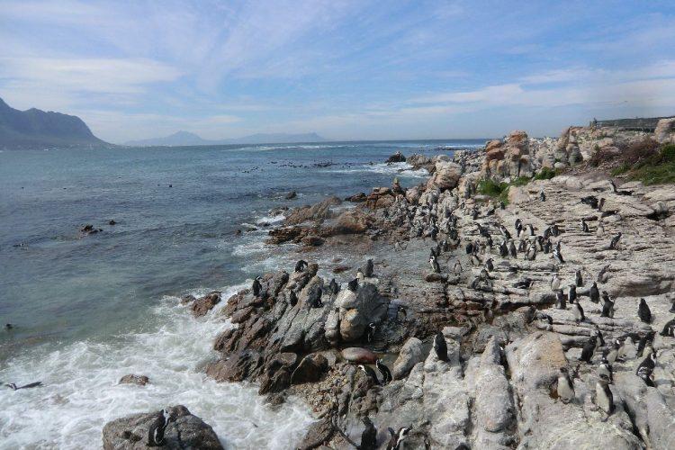 Kurz hinter Kapstadt machten wir an einer weiteren kleinen Kolonie von Brillenpinguinen halt.