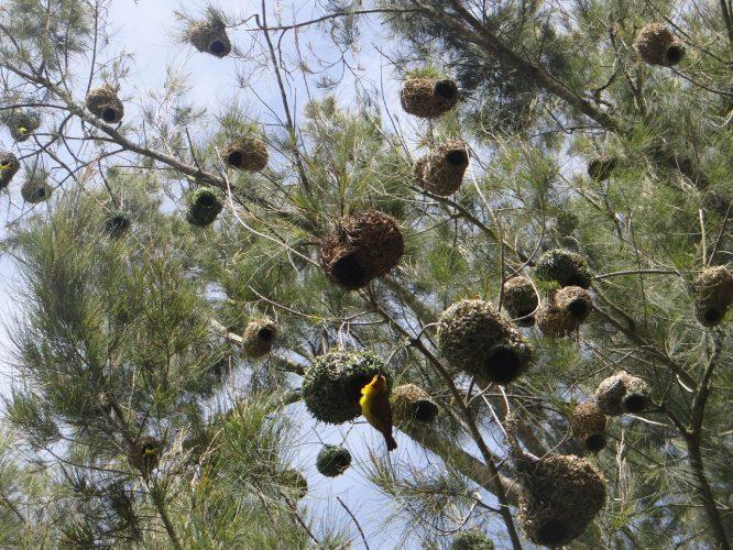 Webervögel. Das Männchen muss ein Nest bauen und es anschließend seiner Angebeteten präsentieren. Wenn es dieser nicht gefällt, reißt sie es vom Baum ab und das Männchen muss von vorne beginnen.