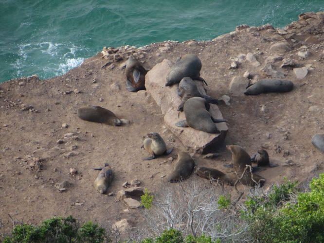 Dank intensiver Schutzmaßnahmen und Kooperation der örtlichen Fischer konnten wieder Robben angesiedelt werden.