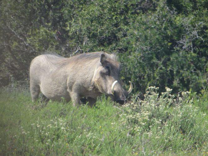 Ein aus der Zeit gefallen wirkendes Warzenschwein.