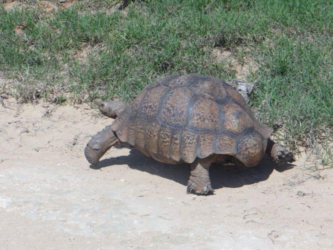 Eine 50 cm große Leopardenschildkröte.