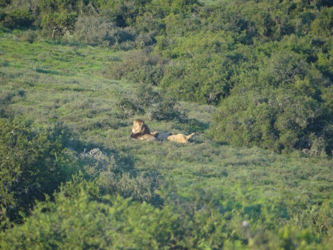 Gerade, als wir den Park verlassen wollten, trafen wir auch noch den König der Tiere (wenn auch in 100 Metern Entfernung).