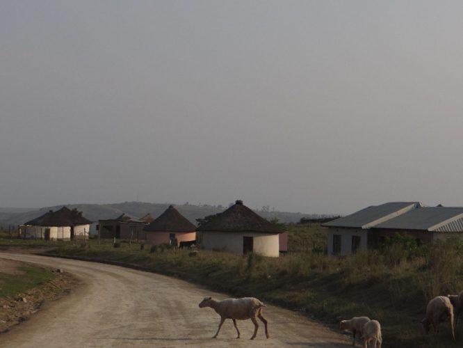 """Auf dem Weg nach Bulungula an die Wild Coast mussten wir oft an dem anhalten, was Einheimischen als """"Dorf-Ampel"""" bezeichnen: Tiere aller couleur auf der Fahrbahn (Schafe, Kühe, Ziegen, Hühner, Hunde, Gänse, Esel,...), die uns zu so mancher scharfer Bremsung zwangen.  Augenscheinlich gehen die Tiere auch davon aus, dass Autos für sie anhalten."""