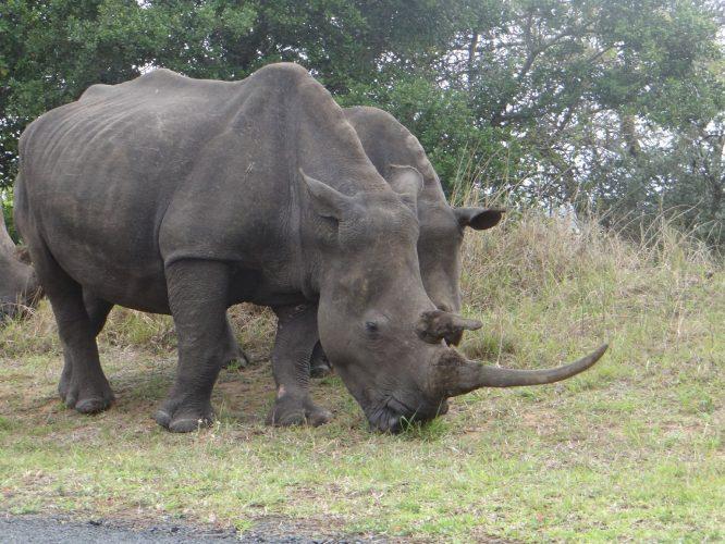 Eine Nashorn-Familie am Straßenrand im iSimangaliso-Wetland-Park. (Dies hier sind Breitmaulnashörner, die Gras fressen und wesentlich weniger aggressiv und weniger gefährdet sind als Spitzmaulnashörner.)