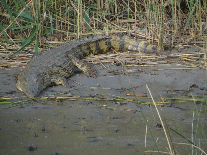 Neben 800 Hippos gibt es am See auch ca. 1000 Krokodile. Krokodile müssen nur ca. 1 mal pro Woche fressen und leben dazwischen von Fett, das sie in ihrem Schwanz speichern.