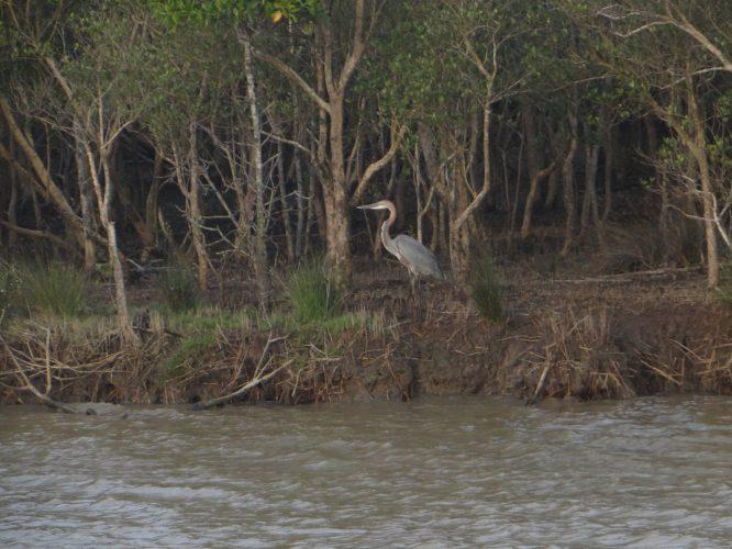 Ein ca. 1,5 m großer Vogel, der von Fischen lebt. Die Bäume im Hintergrund sind Mangroven. Rund um den See und im Nationalpark kommen über 400 indigene Baumarten vor. In ganz Europa gibt es 76.