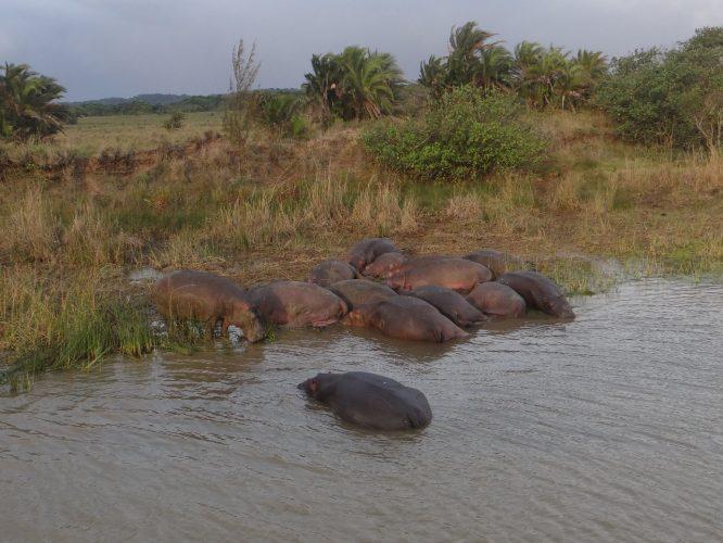 Hippos sind sehr gesellige Tiere, eine derartige Ansammlung heißt Schule.