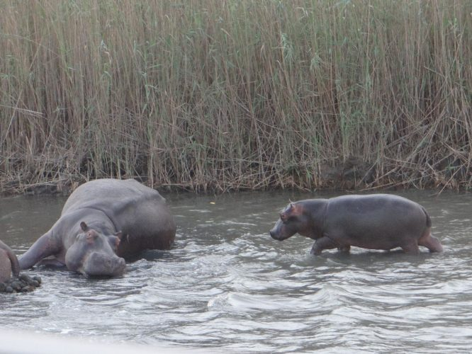 Ein Hippo-Baby...