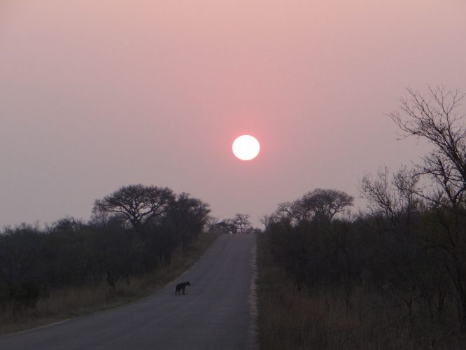 Am Beginn des Morgenspaziergangs im Krügerpark wurden wir von einer Hyäne begrüßt.