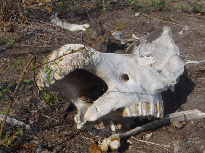 Dies hier ist der Kiefer eines Nashorns. Ein Nashorn-Kampf endet im Normalfall erst, wenn einer der beiden tot ist.  Eine andere mögliche Todesursache wäre eine Infektion. Normalerweise wäre an der Oberseite des Kiefers das Horn angewachsen, das von den Rangern allerdings entfernt wurde, um keine Wilderer anzulocken. Diese stellen ein großes Problem im Park dar und töten jedes Jahr Dutzende der gefährdeten Nashörner.