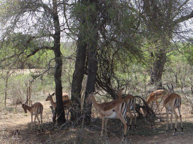 Impalas, das Grundnahrungsmittel der Raubkatzen und aufgrund der schwarzen Färbung auf der Hinterseite von manchen Rangern Löwen-McDonald's genannt.