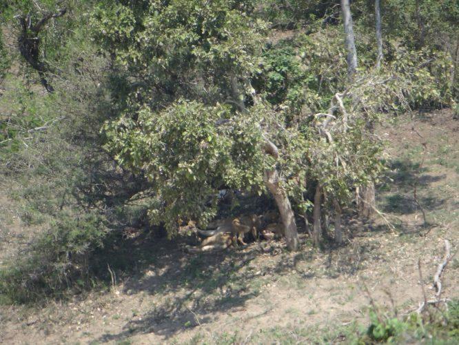 Selbst auf diesem Foto, das mit 30fach Zoom aufgenommen wurde, sind die Löwenmutter mit ihren Babys nur schwer zu erkennen. Wir haben uns gefragt, wer sie dort entdeckt hatte, da wir sie selbst mit genauen Hinweisen anderer Beobachter kaum gefunden haben.
