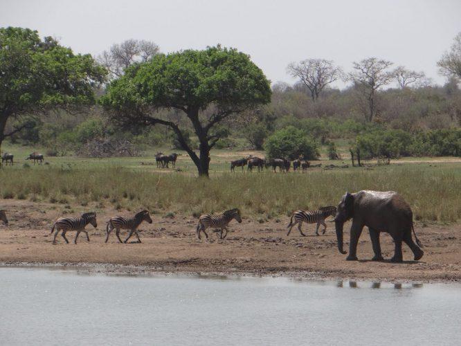 Auch wenn Elefanten für Zebras keine direkte Gefahr darstellen, gehen sie ihnen doch lieber aus dem Weg.