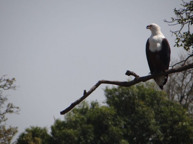 Ein Afrikanischer Fischadler.