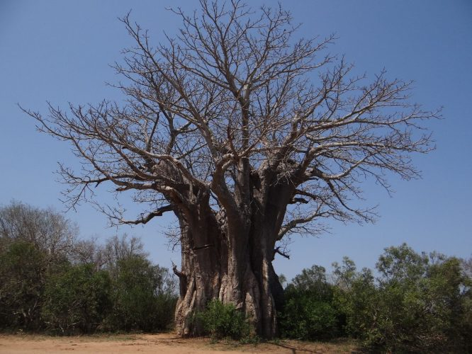 Ein gigantischer Baobabbaum.