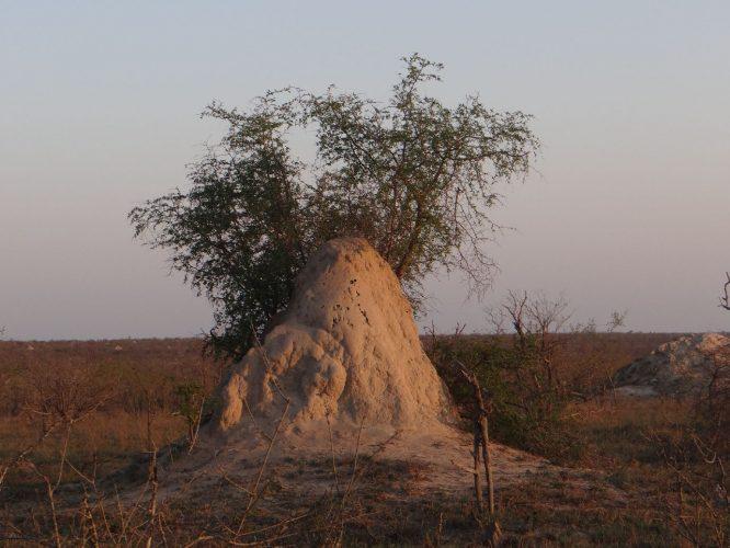Wahre Kunstwerke errichten Termiten, manche sind um die zwei Meter hoch und beziehen die nichtsahnende Vegetation mal mehr, mal weniger freundlich mit ein.