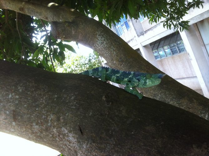 During a walk over the university campus, I've encountered this 30 cm-chameleon chilling on a tree.