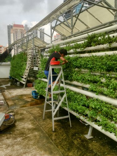 An urban farm on the roof of a mall, growing basil and mint.