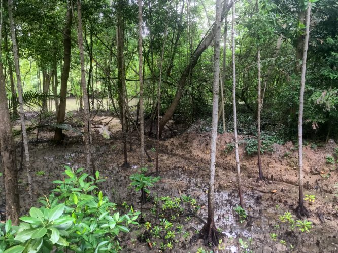 A small batch of the previously large mangrove forest covering the entire coastline of Singapore.
