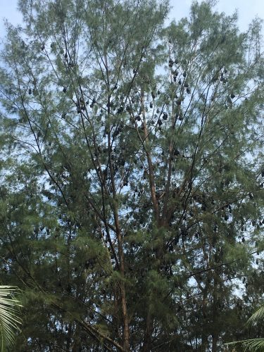 The black dots in the tree are not fruits, but flying foxes (Flughunde) - important pollinators.
