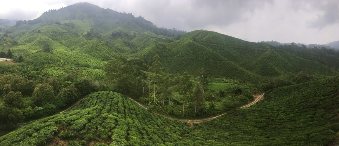 The Cameron Highlands are most famous for their tea plantations.