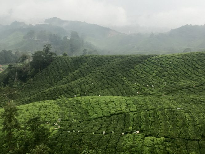 Although partly mechanized, tea picking still involves a lot of hard manual labor.
