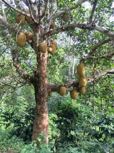 A jackfruit tree. Jackfruit is increasingly used also in Europe as a meat substitute.