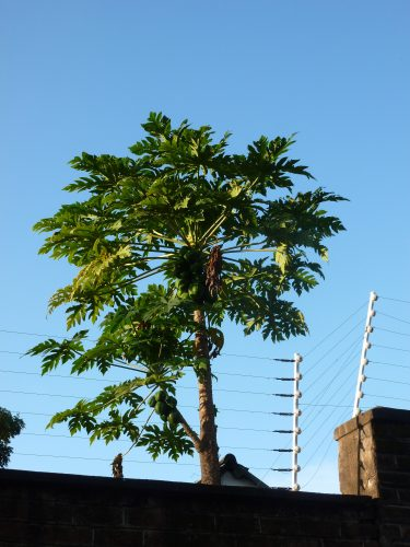 A papaya tree. Besides that, people commonly also have avocado and mango trees in their gardens. Mango season is, however, unfortunately in November-December.