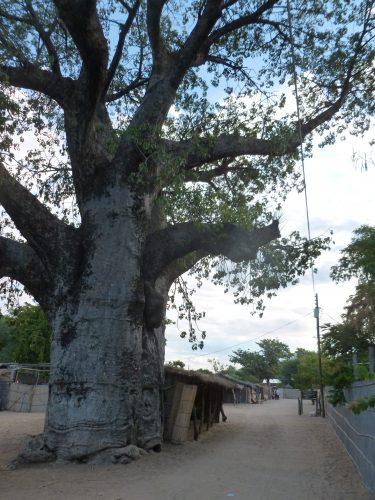 A giant baobab tree.