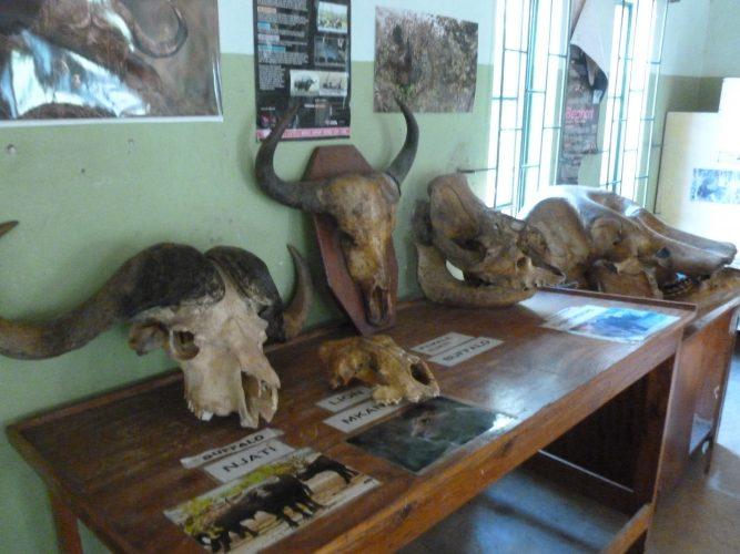 Giant skulls of buffalo (left), rhino (middle) and elephant (right).
