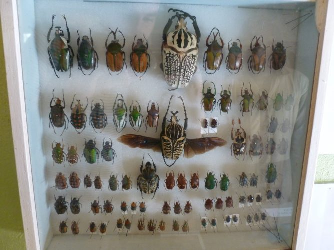 These beetles are apparently all found in Malawi.