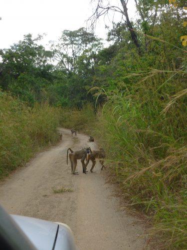 Monkey roadblock.