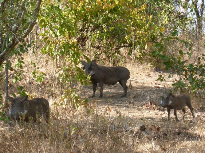 The day after Zomba, I went to Majete Game Reserve, an hour south of Blantyre. It is the only Big Five park in Malawi (meaning it has elephants, rhinos, lions, leopards and buffaloes). These are warthogs (Warzenschwein) and are part of the Ugly Five, although I find them pretty cute.