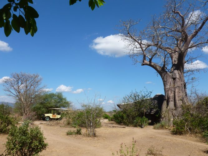 This is in Liwonde National Park, in the camp where we were staying. I really like Baobab trees.