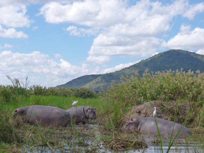 Liwonde has the highest density of hippos in the world - over 2500 in 35 kilometers of river. The white birds eat algae and insects that are attached to the hippos' skin when they come out of the water.