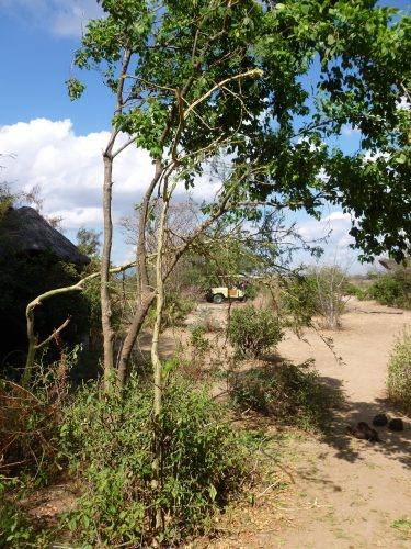 One of the spots close to our table where the elephants had eaten the night before. The bent tree had been straight before.