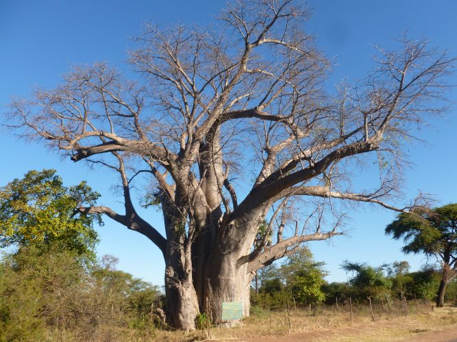 This Baobab is called the Big Tree and is 1000-1500 years old.