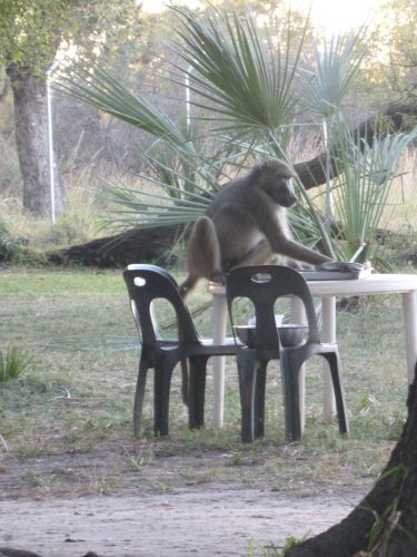 Baboons were all over the place, waiting for people to stand up from their tables to finish whatever food they had left. If you didn't pay attention, they would even steal food from your plate while you were still eating.